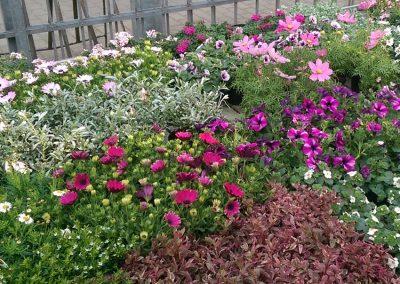 Gartenblumen-Pflanzen-Blumen-Blumenladen-boehme-dresden-ost